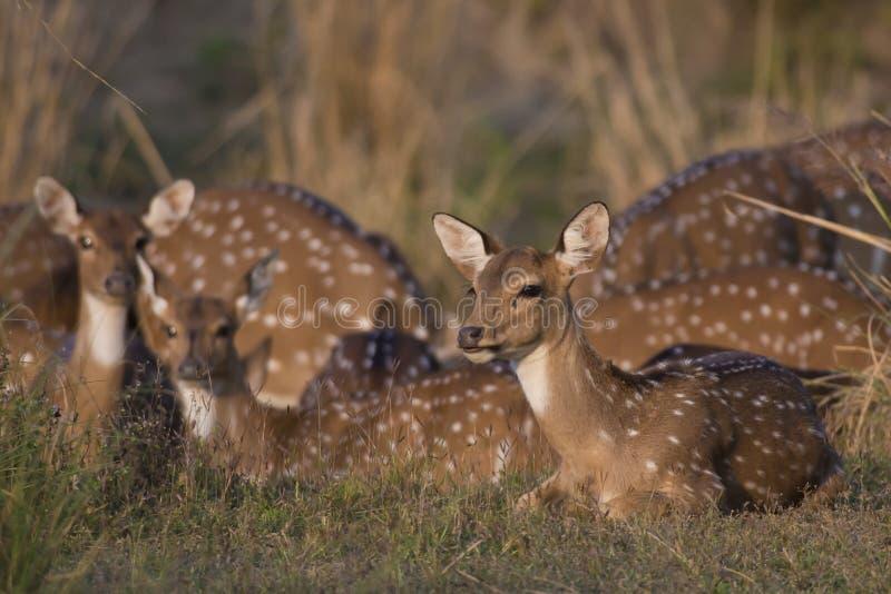 Cervos de Chital imagem de stock royalty free