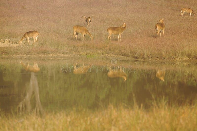 Cervos de Chital no furo molhando no parque nacional de Kanha, Índia imagem de stock