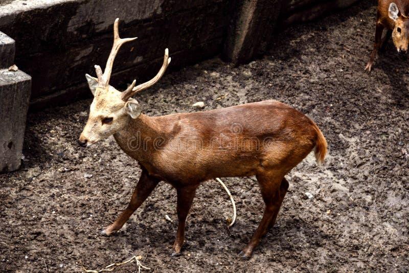 Cervos de Cutie fotografia de stock