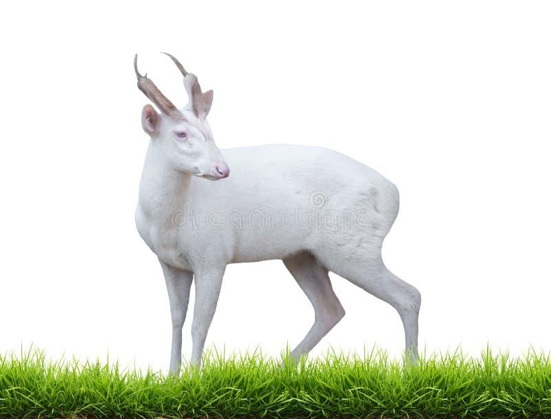 Cervos de descascamento do albino fotografia de stock
