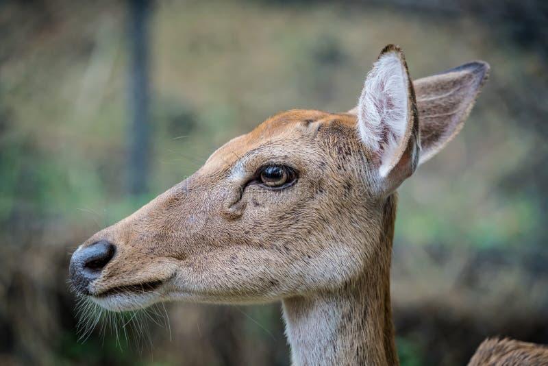 Cervos de Eld foto de stock