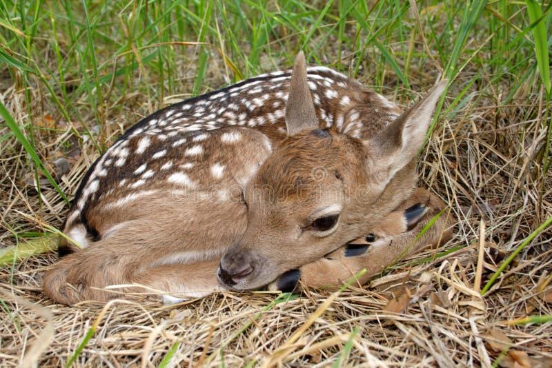Cervos de Fallow (dama do Dama) foto de stock royalty free