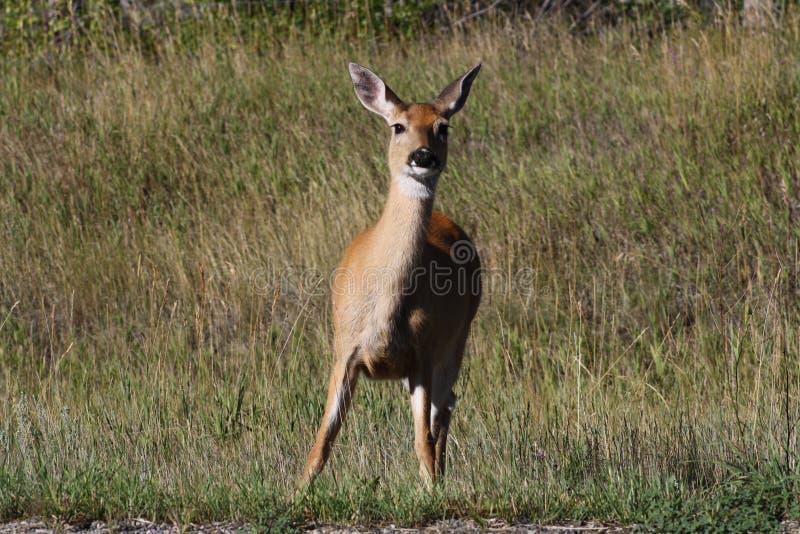 Cervos de mula curiosos fotografia de stock
