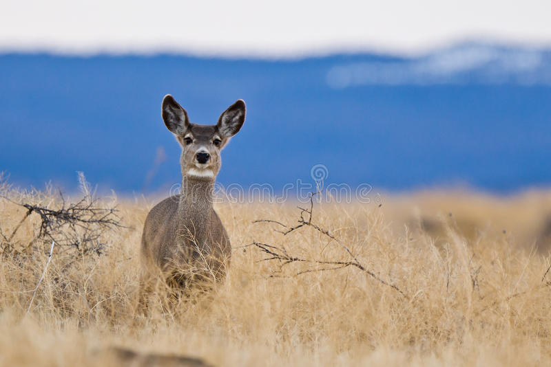 Cervos de mula (hemionus do Odocoileus). fotos de stock royalty free