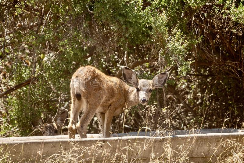 Cervos de mula no selvagem imagem de stock