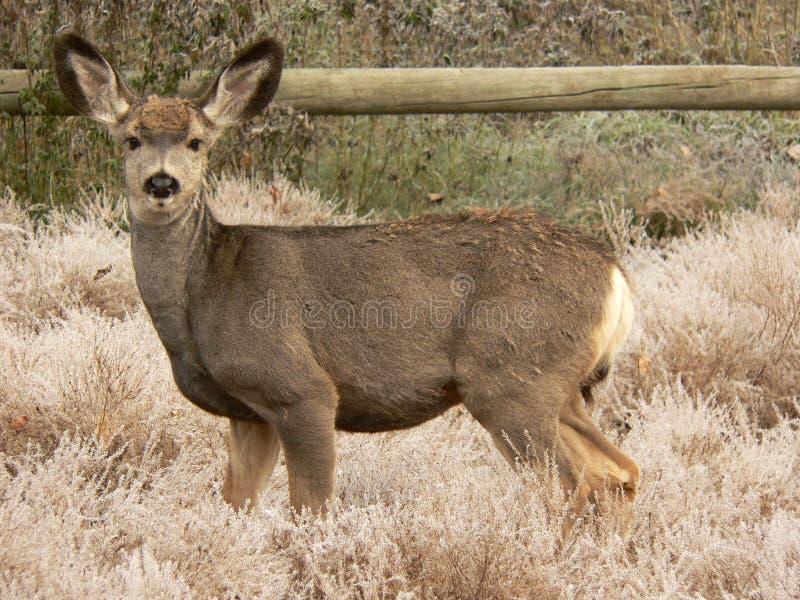 Cervos de mula novos fotografia de stock