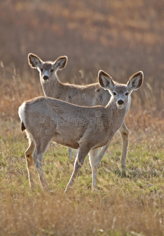 Cervos de mula Saskatchewan fotos de stock
