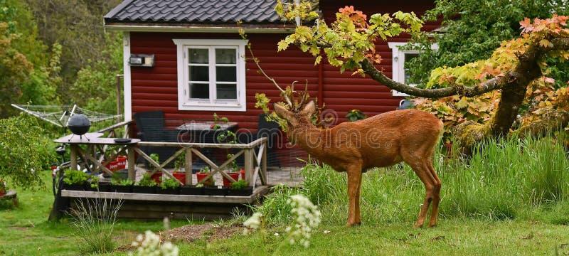 Cervos de ovas apenas fora de uma casa de madeira vermelha doce pequena imagem de stock