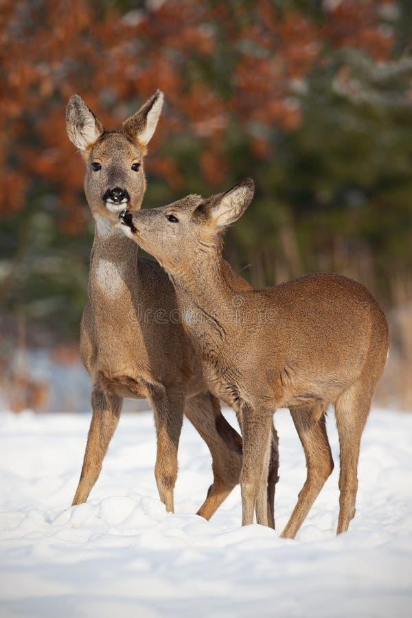 Cervos de ovas da mãe e do filho, capreolus do capreolus, na neve profunda no beijo do inverno fotos de stock royalty free