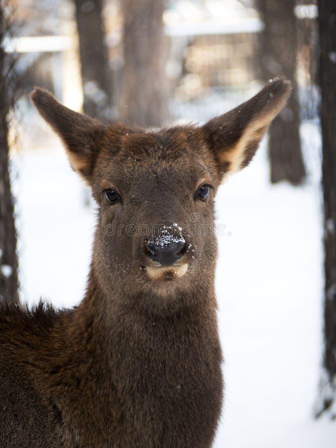 Cervos de ovas do retrato do inverno entre árvores Neve no nariz fotos de stock royalty free