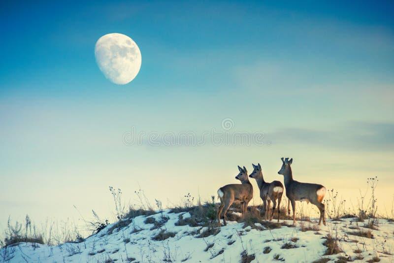 Cervos de ovas em um monte que olha à lua