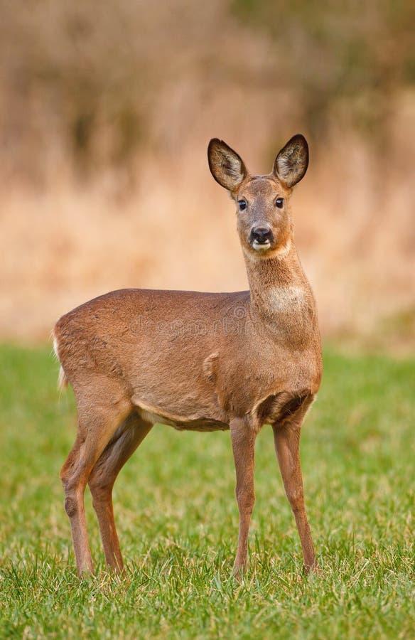 Cervos de ovas fêmeas imagem de stock royalty free