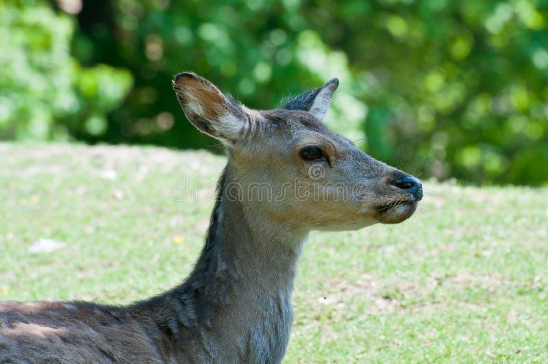 Download Cervos de ovas fêmeas foto de stock. Imagem de cabeça - 26500858