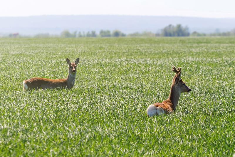 Cervos de ovas masculinos e cervos de ovas fêmeas no campo de trigo Roe Deers foto de stock