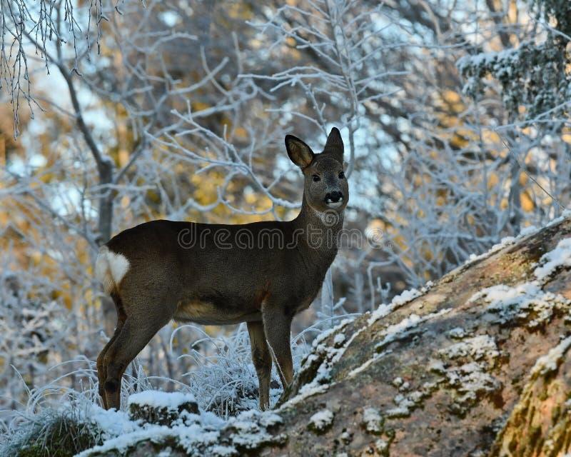 Cervos de ovas na neve durante o inverno imagens de stock royalty free