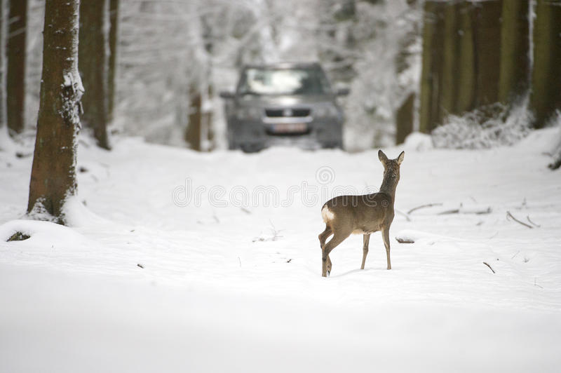 Cervos de ovas na neve durante o inverno fotografia de stock royalty free
