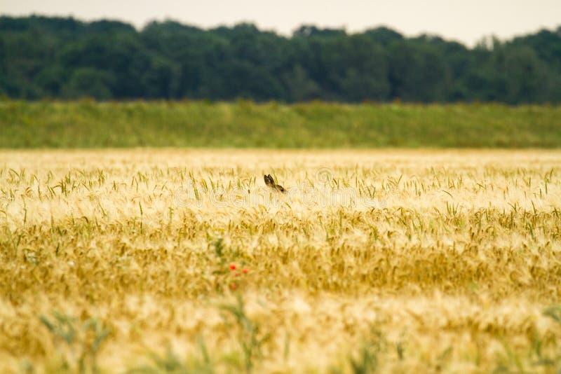 Cervos de ovas no centeio foto de stock