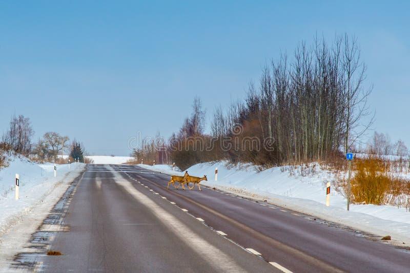 cervos de ovas, perigo em uma estrada imagem de stock