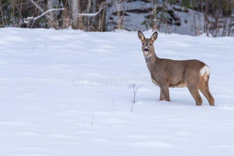 Cervos de ovas que andam na neve na Suécia imagens de stock