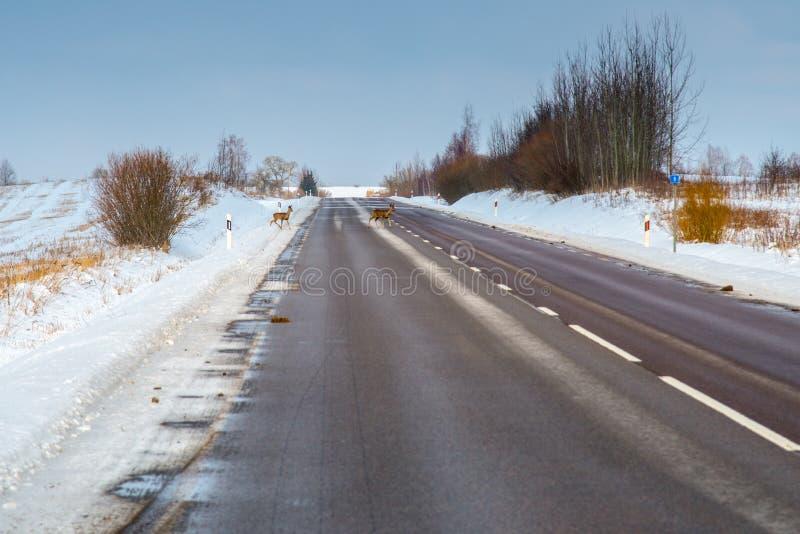 Cervos de ovas que cruzam uma estrada foto de stock royalty free