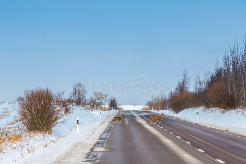 Cervos de ovas que cruzam uma estrada fotografia de stock