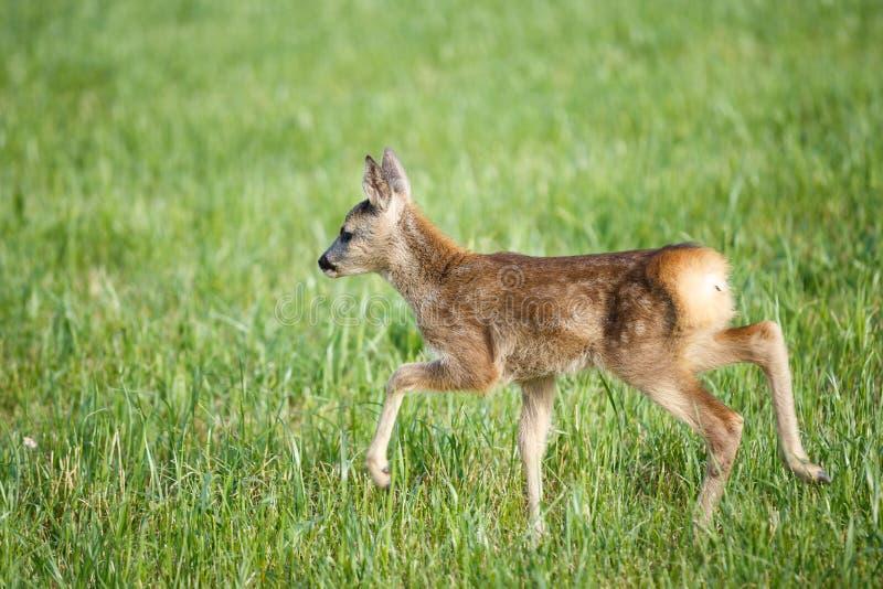 Cervos de ovas selvagens novos na grama, capreolus do Capreolus foto de stock royalty free