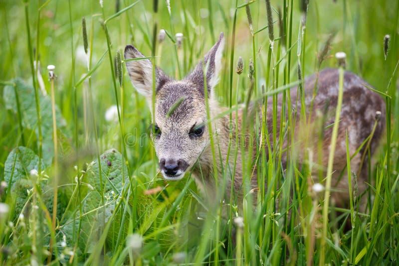 Cervos de ovas selvagens novos na grama, capreolus do Capreolus imagens de stock