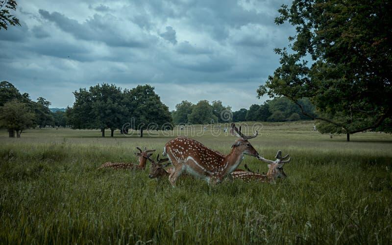Download Cervos de refrigeração foto de stock. Imagem de parque - 80100004