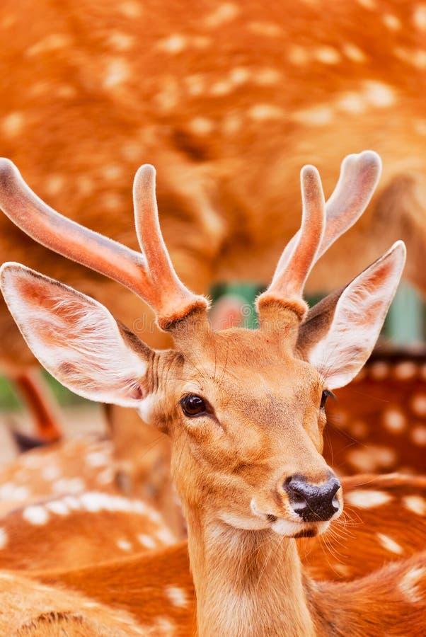 Cervos de Sika imagens de stock