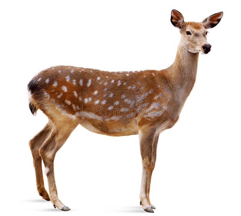 Cervos de Sika, Cervus nipónico imagem de stock