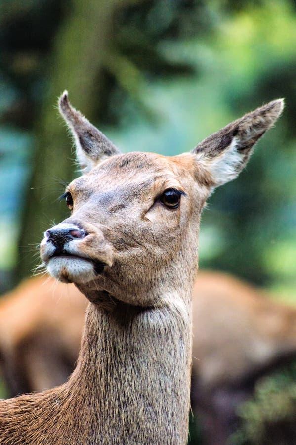 Cervos de Sika (lat Cervus nipônico) uma gama fotografia de stock royalty free