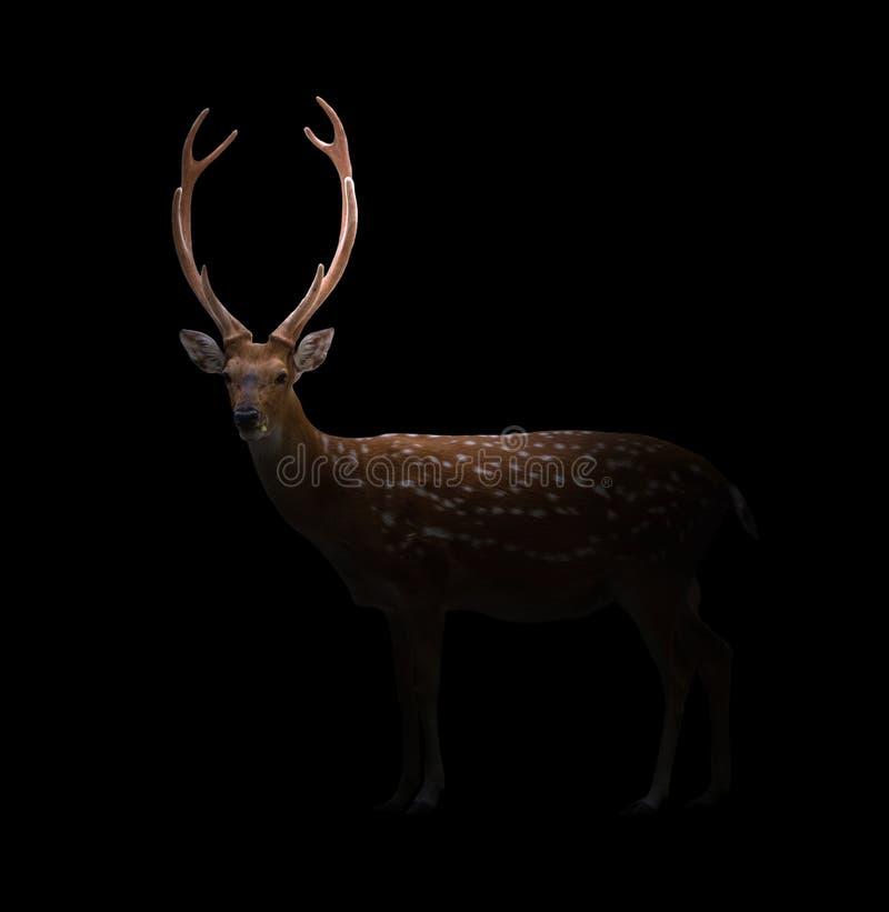 Cervos de Sika na obscuridade foto de stock royalty free