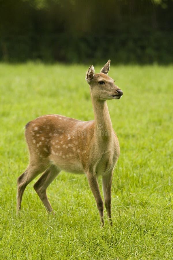 Cervos de Sika traseiros fotografia de stock