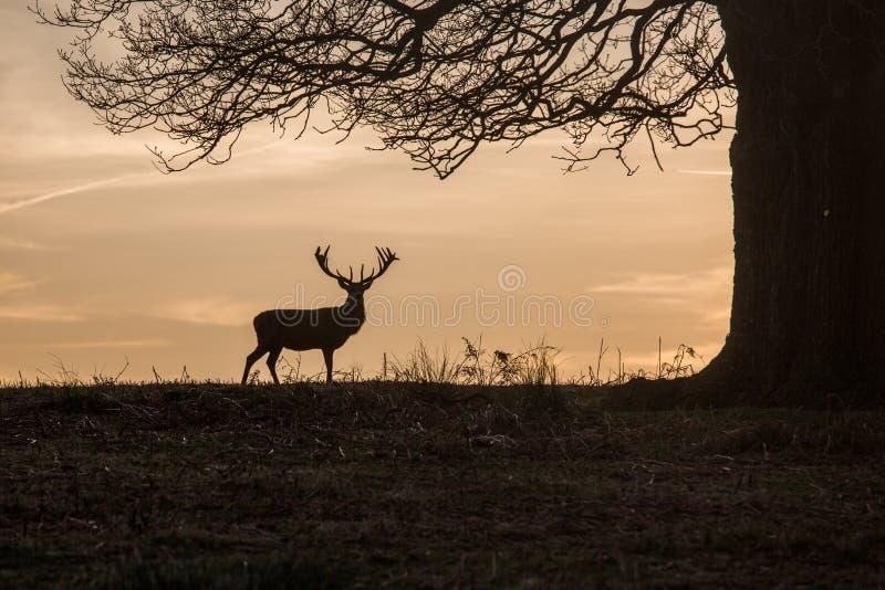 Cervos de Skylined na caça fotos de stock royalty free