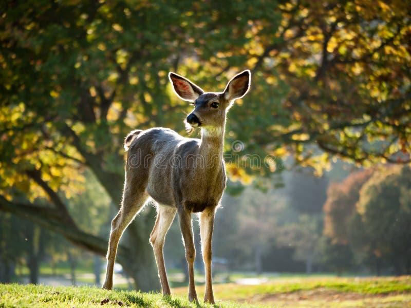Cervos de Whitetail alertas fotos de stock