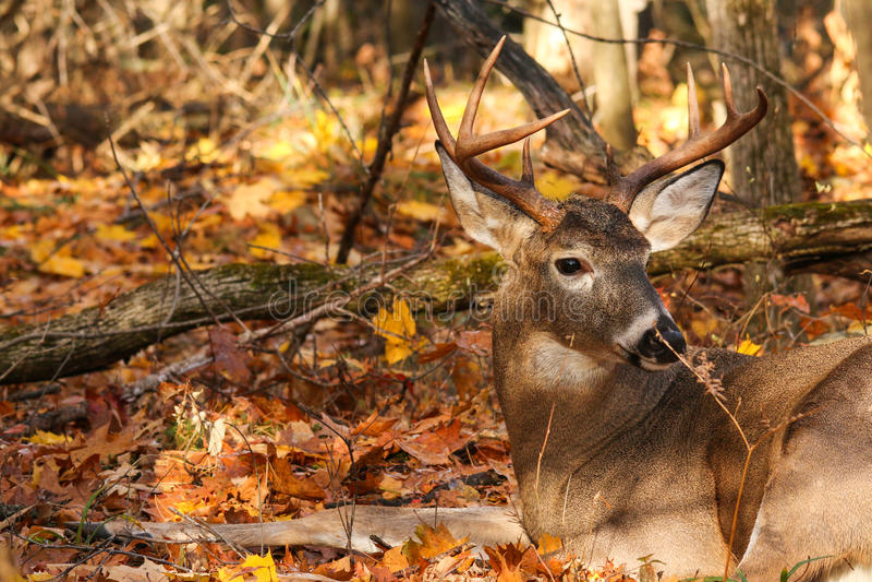 Cervos de Whitetail Buck Bedded fotografia de stock