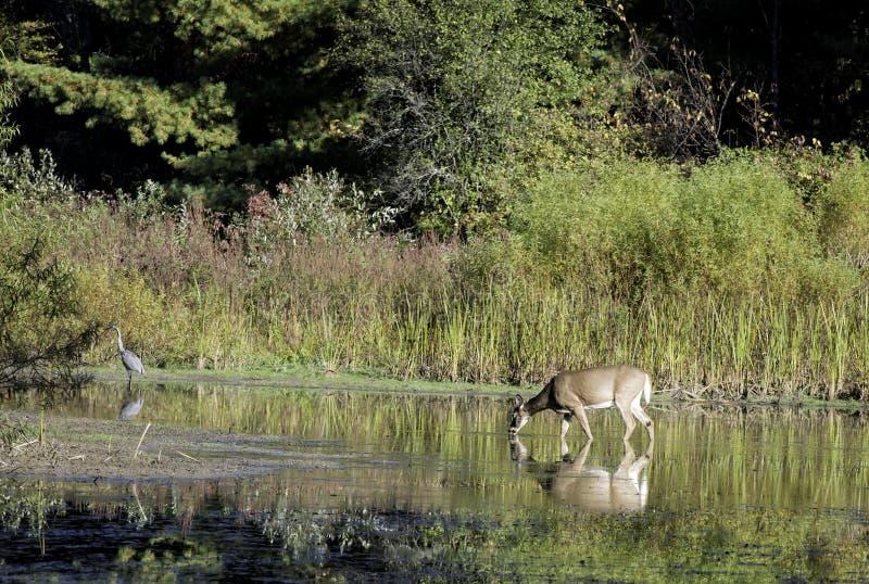 Cervos de Whitetail e uma garça-real de grande azul em uma lagoa foto de stock