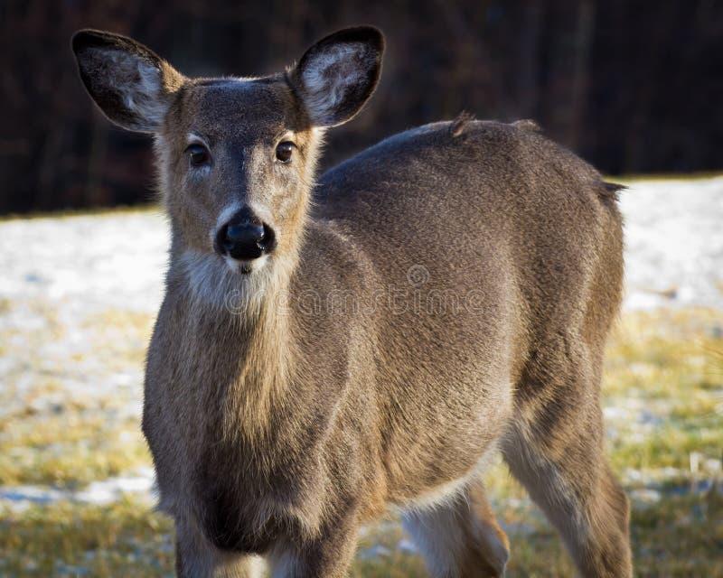 Cervos de Whitetail focalizados em você. imagens de stock