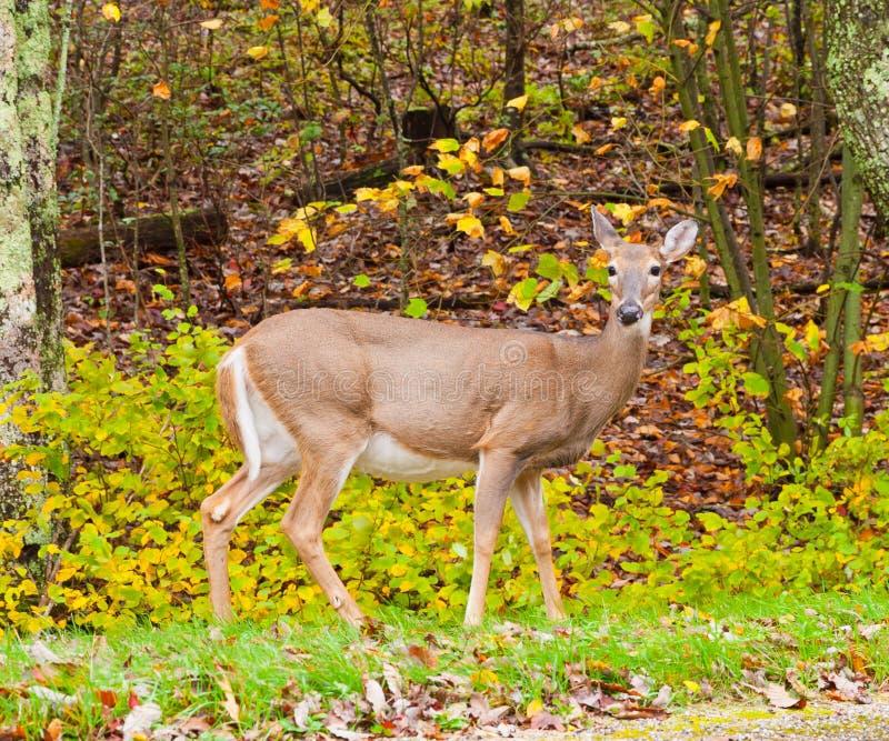 Cervos de Whitetail na floresta do outono imagens de stock royalty free