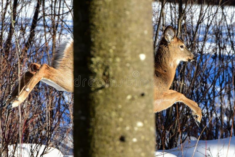 Cervos de Whitetail que pulam atrás da árvore imagens de stock