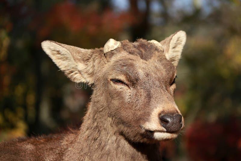 Cervos do close up com o chifre eliminado na luz solar no parque em Nara, Japão imagem de stock