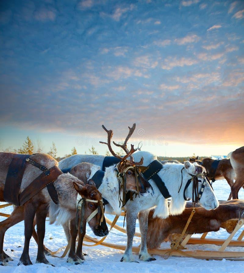 Download Cervos do norte foto de stock. Imagem de escandinávia - 26514300