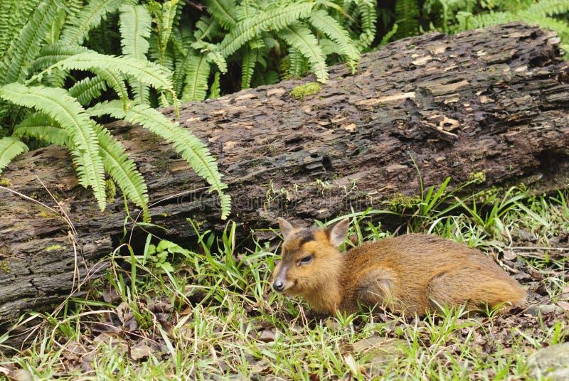 Cervos Do Retrato Animal Dos Animais Selvagens Em Ao Ar Livre. Foto de Stock Royalty Free