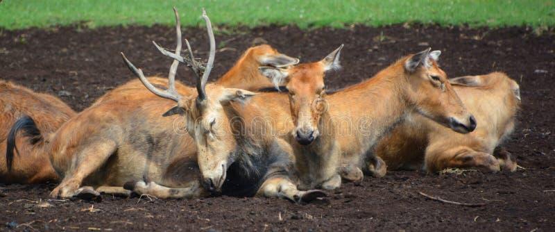 Cervos do `s de Pere David foto de stock