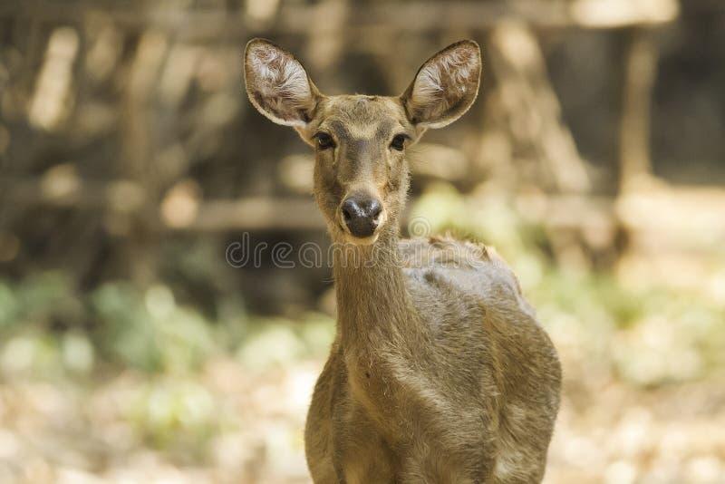 Cervos do Sambar imagem de stock royalty free