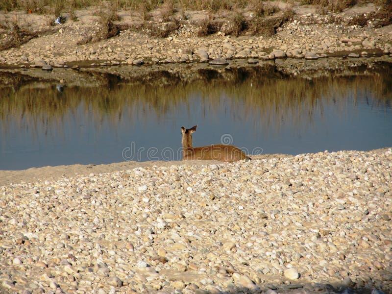 Cervos do Sambar do banho de sol imagens de stock royalty free