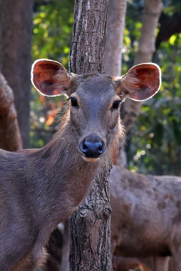 Cervos do Sambar da selva na floresta, gujrat, india foto de stock royalty free