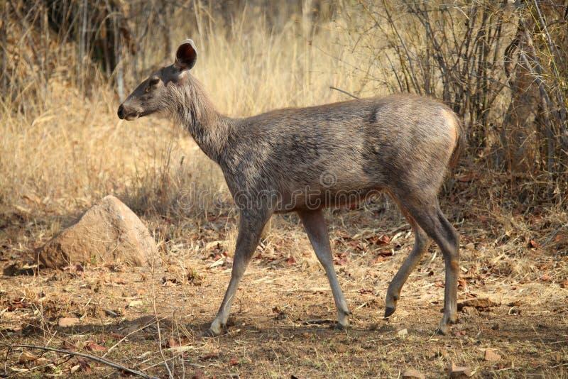 Cervos do Sambar, Rusa unicolor, parque nacional de Tadoba, Chandrapur, Maharashtra, Índia imagens de stock