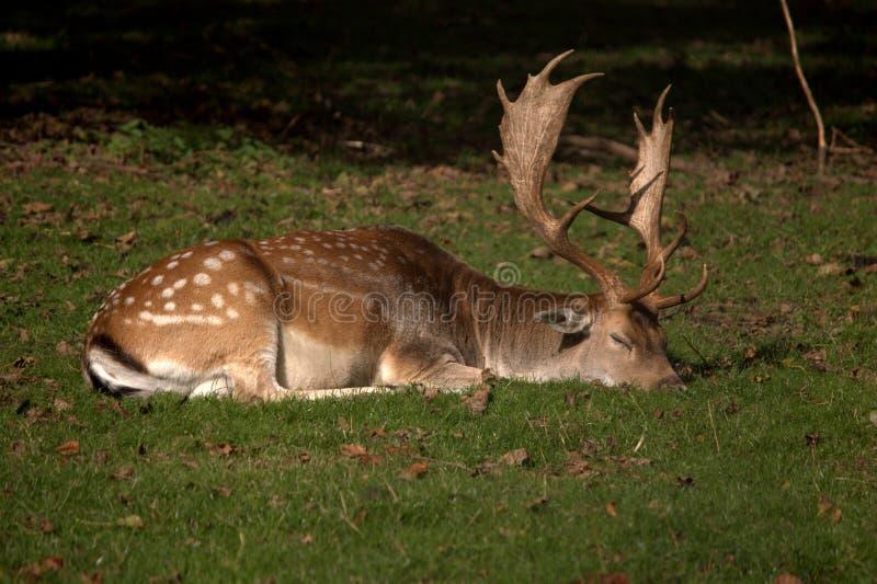 Cervos do sono imagem de stock royalty free