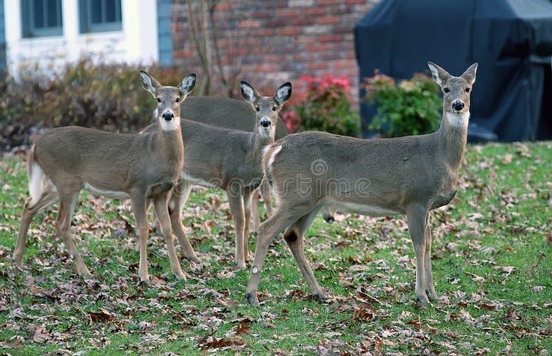 Cervos em áreas suburbanas foto de stock royalty free